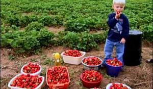 Strawberry Picking at a U-Pick