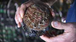 Abalone Farmed Seafood
