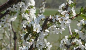Midwestern Cherry Crop Decimated, Northwest Cherry Harvest Booms