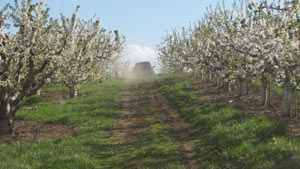 Midwest Cherry Crop Decimated