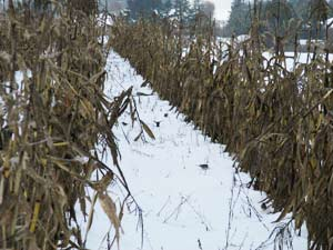Juncos Foraging among the Sheltering Corn Stalks