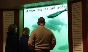 Record Number of Fall Chinook Pass Through Bonneville Dam