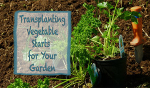 Transplanting Vegetable Starts for Your Garden